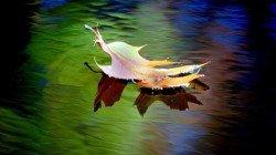 VB-Miranda-favorite-leaf-on-water